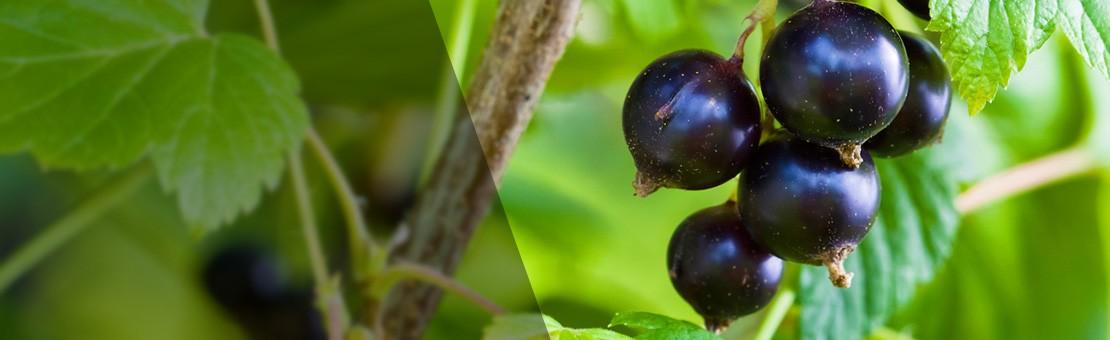olej-z-pestek-czarnej-porzeczki